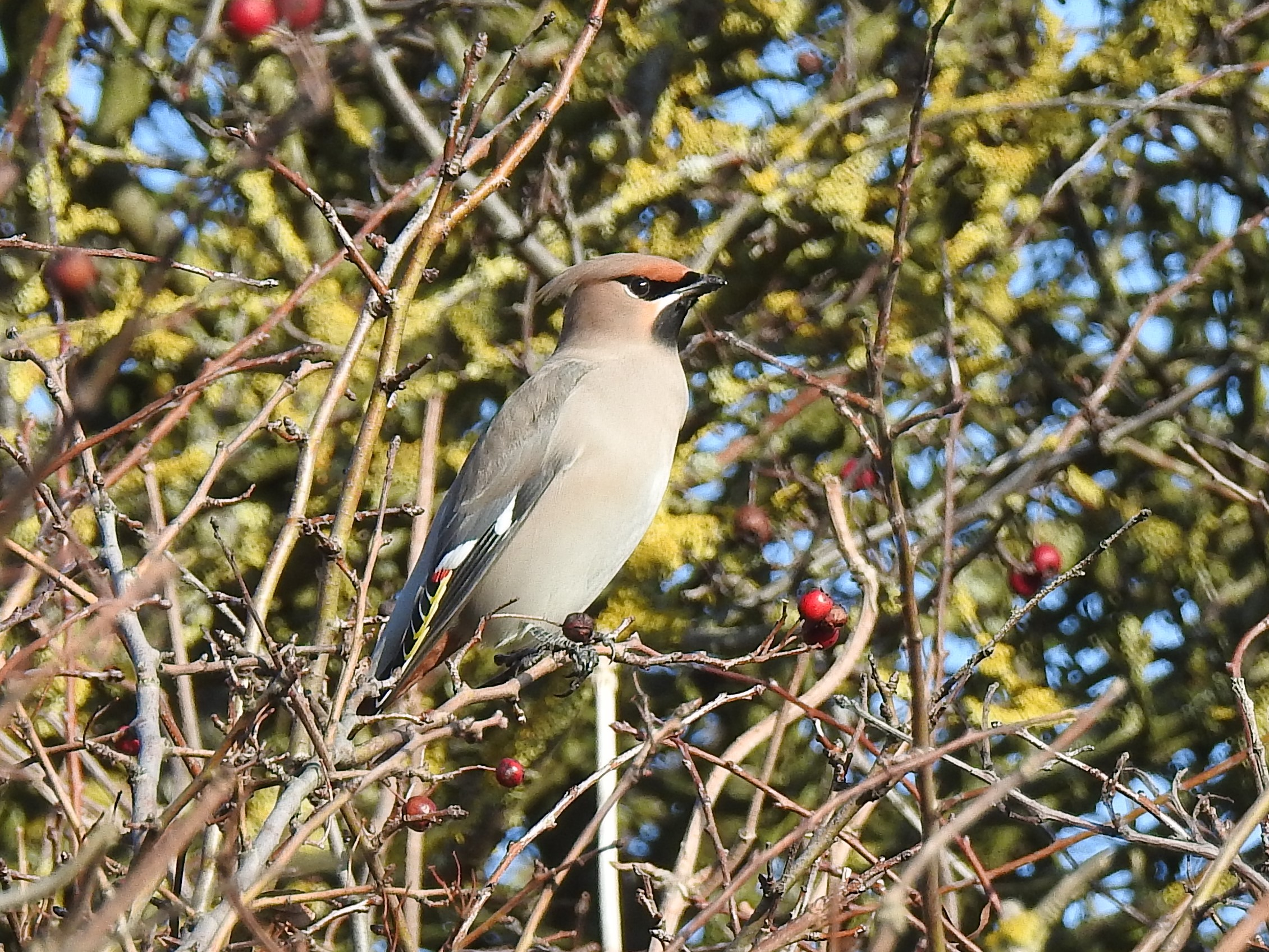Waxwing at Holland Haven on 10 Nov 2019, (Barbara Leport, Hawke BinsSwaroski ScopeNikon Coolpix 900)