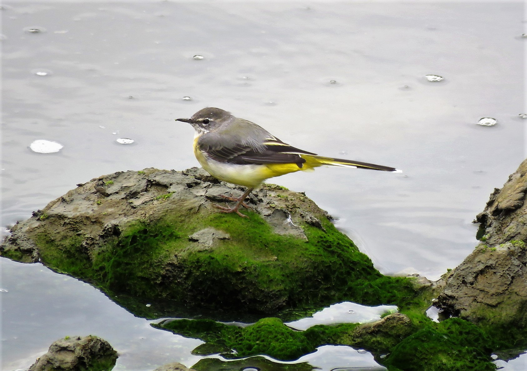 Grey Wagtail at Beeleigh on 09 Sep 2018, (Paul Fletcher, )