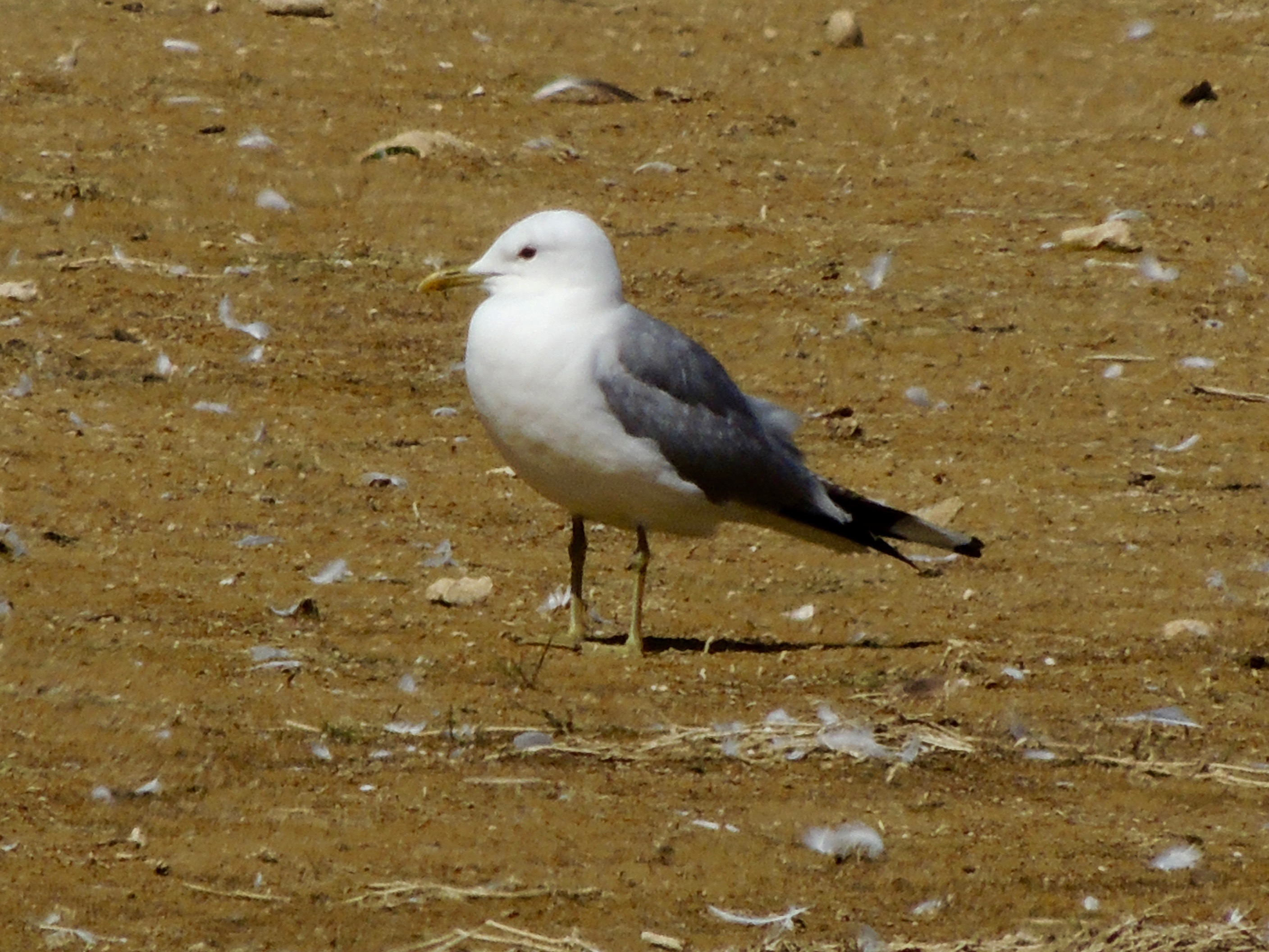 Common Gull at Hanningfield Reservoir on 16 Jul 2019, (David Hale, NIKON BRIDGE.)