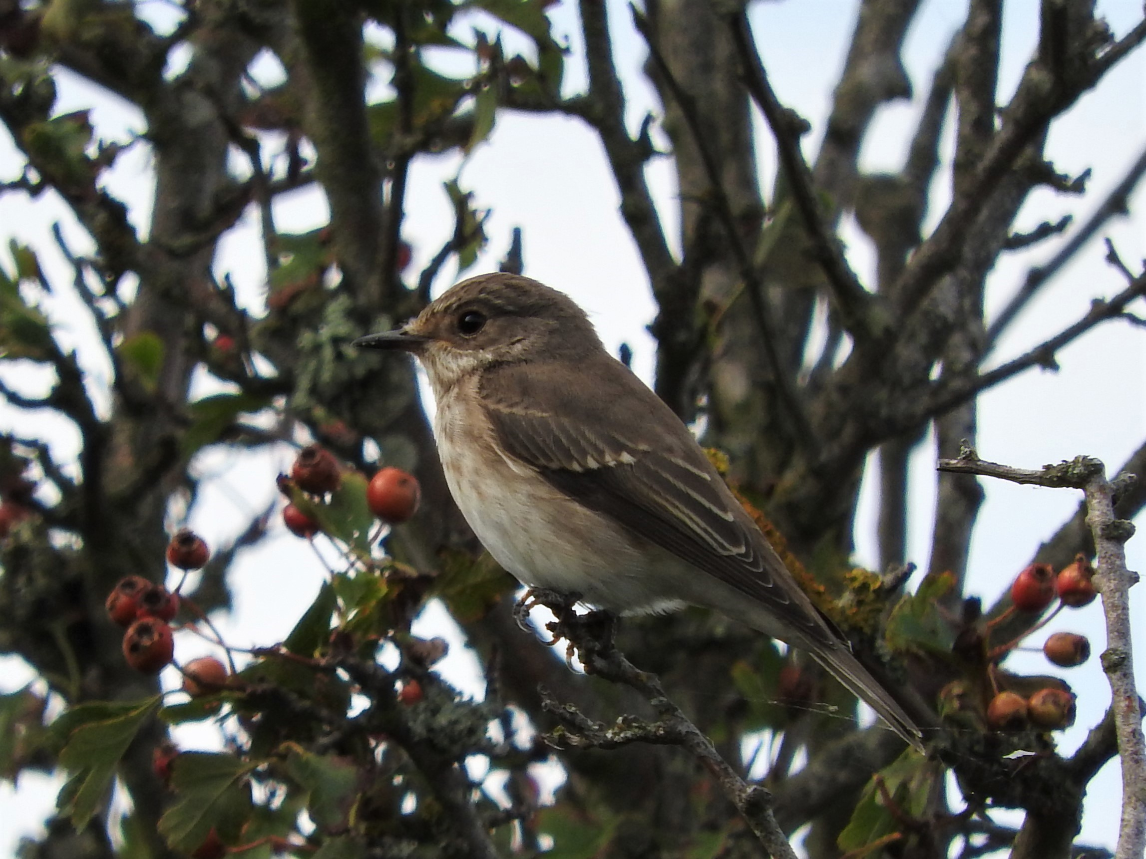 Spotted Flycatcher at Naze, The on 20 Aug 2019, (Liz Huxley, )