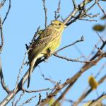 Yellowhammer at Little Waltham on 12 Nov 2020, (David Saville, )