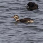 Long-tailed Duck at Abberton Reservoir on 24 Nov 2020, (Paul Chamberlain)