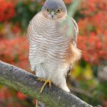 Sparrowhawk at Stanford-le-Hope on 20 Nov 2020, (Steve Swinney)