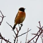 Stonechat at Old Hall Marshes NR RSPB on 24 Nov 2020, (David Hale)