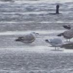 Caspian Gull at Abberton Reservoir on 15 Nov 2020, (Sean Nixon)