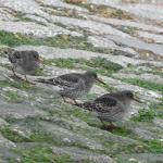 Purple Sandpiper at Holland Haven on 24 Nov 2020, (Liz Huxley)