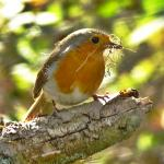 Robin at Wivenhoe on 13 Apr 2021, (Michael Davies)