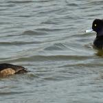 Tufted Duck at Layer Breton on 08 Apr 2021, (Michael Davies)