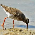 Redshank at Wivenhoe on 16 Apr 2021, (Michael Davies)