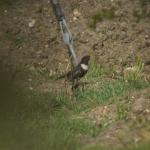 Ring Ouzel at Warley on 15 Apr 2021, (Paul Everett)