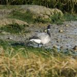 Pale-bellied Brent Goose at Heybridge Basin on 09 May 2021, (Paul Everett)