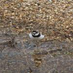 Little Ringed Plover at Abberton Reservoir on 09 Apr 2021, (Ron Colson)