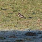 Ring Ouzel at Warley on 15 Apr 2021, (Clive Tanner)