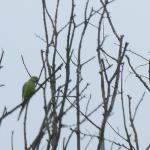 Ring-necked Parakeet at TL6907 on 12 Apr 2021, (Winifred Simmonds)