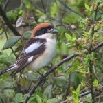 Woodchat Shrike at Rochford on 10 May 2021, (James Hudson)