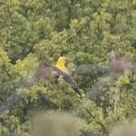 Golden Oriole at Old Hall Marshes NR RSPB on 08 May 2021, (Sean Nixon)