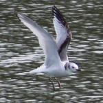 Kittiwake at Russell Green GPs, near Chelmsford on 12 Apr 2021, (George Brown, Canon 1200D camera 75-300mm lens)