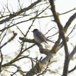 Blackcap at Russell Green GPs, near Chelmsford on 20 Apr 2021, (Paul Everett, SONY A77ii with 150-500 lens)