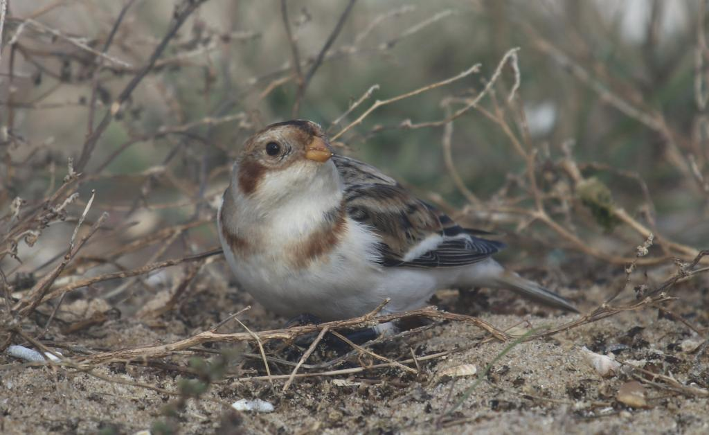 Snow Bunting at East Mersea on 28 Oct 2020, (Steve Grimwade, )