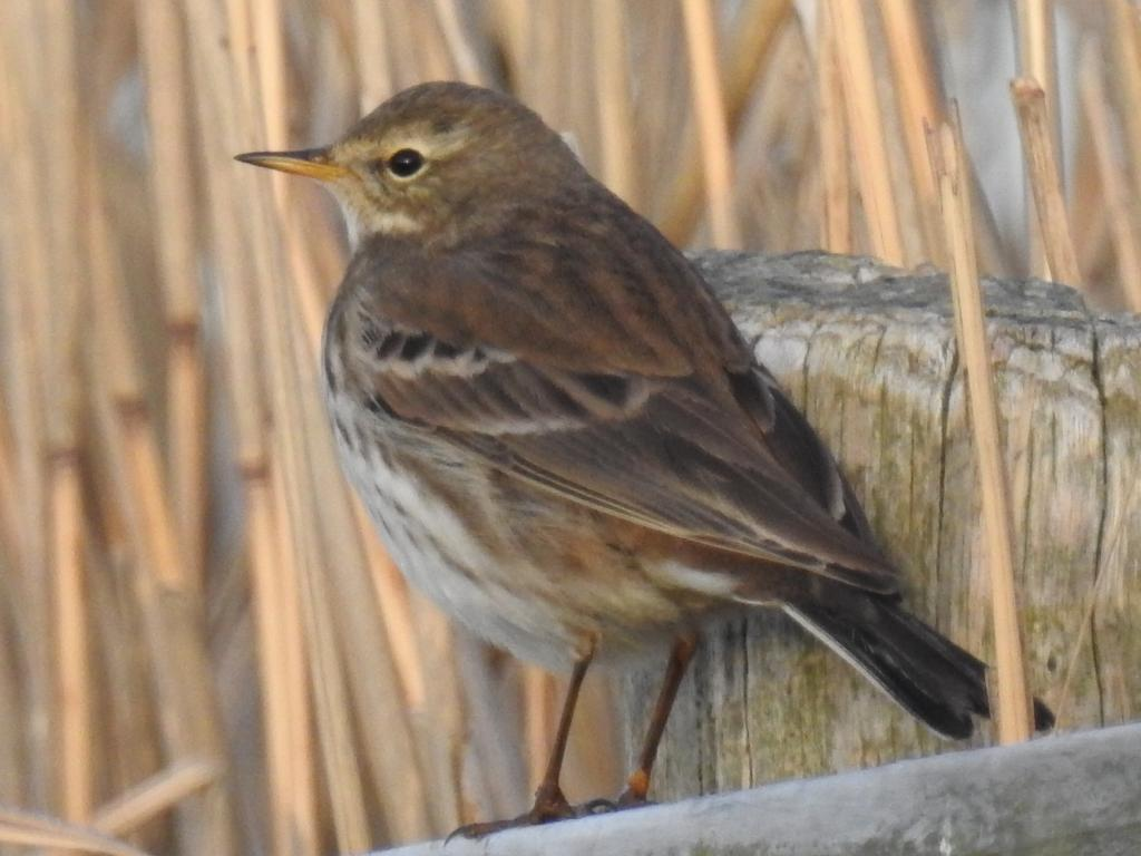 Water Pipit at Blue House Farm EWT, North Fambridge on 17 Dec 2018, (David Curle, Nikon P900 Bridge Camera)