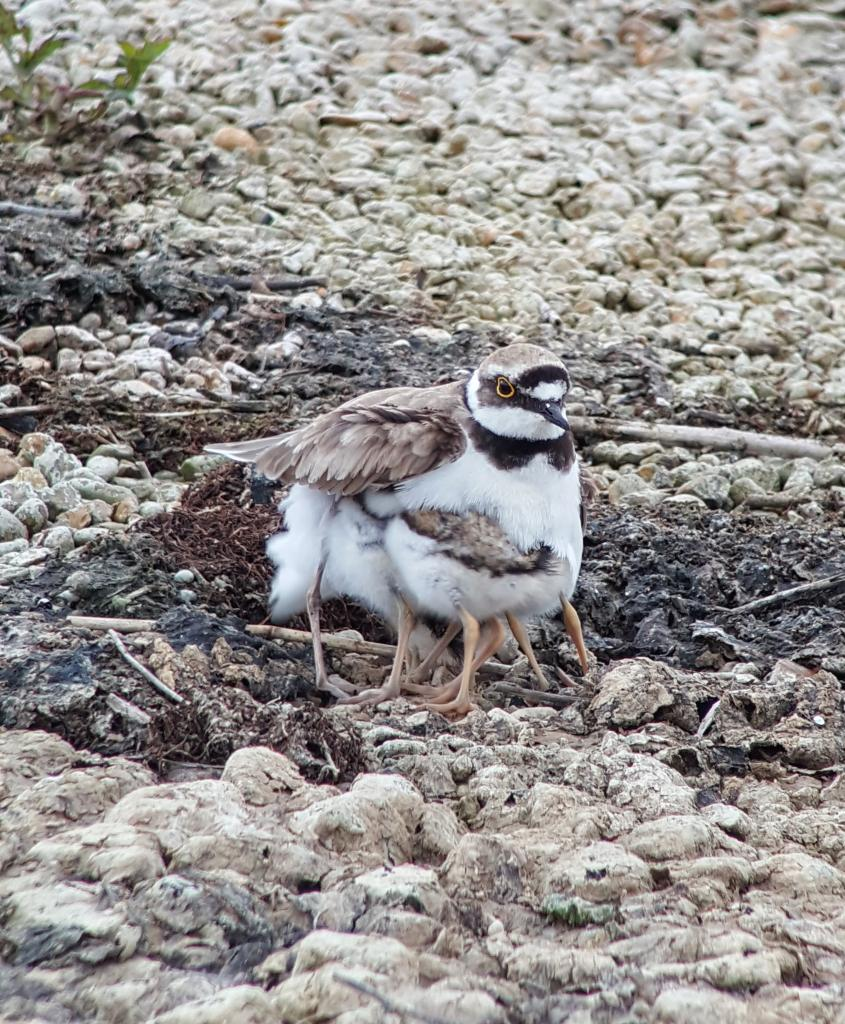 Little Ringed Plover at Abberton Reservoir on 19 Jun 2019, (Matt Turner, ATS80/S6 -Canon SX50HS)