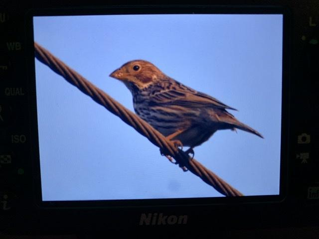 Corn Bunting at Great Baddow, Chelmsford on 07 May 2020, (David Pallash, )