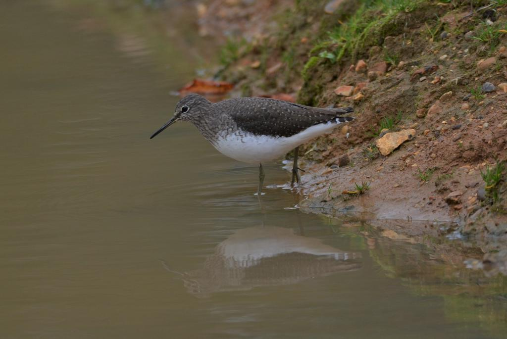 Green Sandpiper at Stanway Green on 30 Oct 2020, (David L Smith, Nikon D7100 & Sigma 150-600mm)