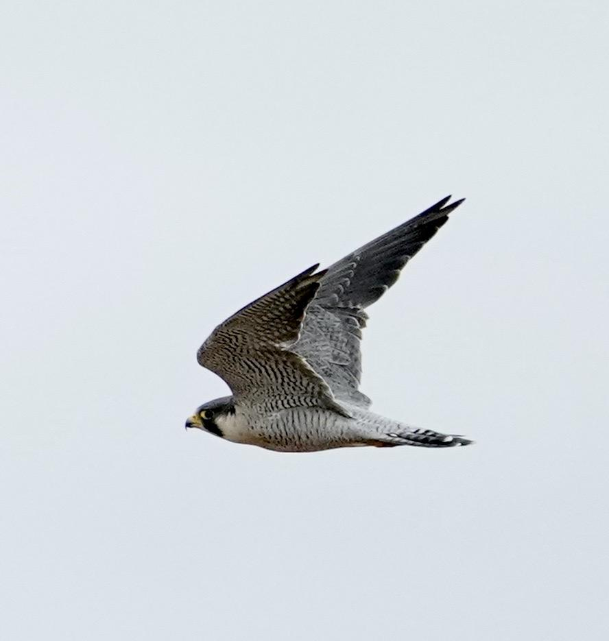 Peregrine Falcon at Writtle on 30 Oct 2020, (Martin Henry, )