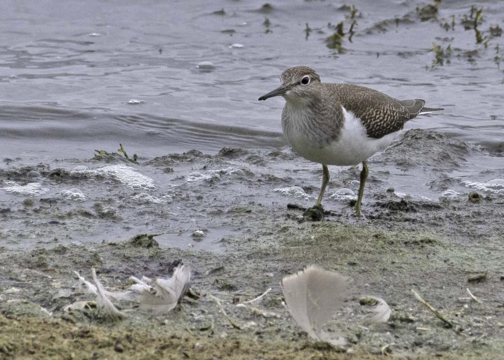 Common Sandpiper at Hanningfield Reservoir on 03 Sep 2020, (Nicholas Weston, Nikon D500, Nikon 200-500 F5.6 lens)