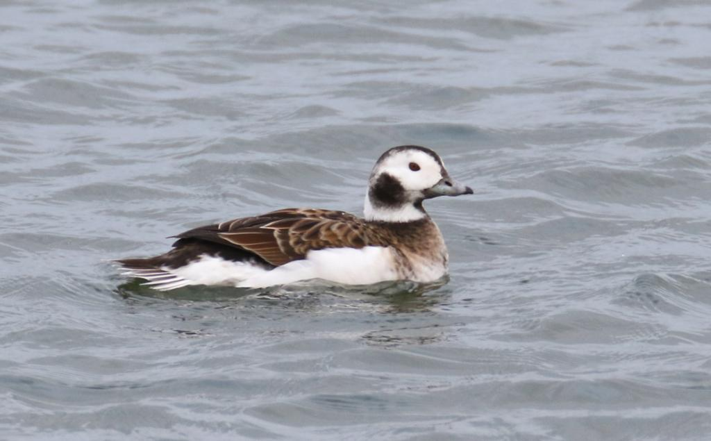 Long-tailed Duck at Abberton Reservoir on 01 Nov 2020, (Sean Nixon, )