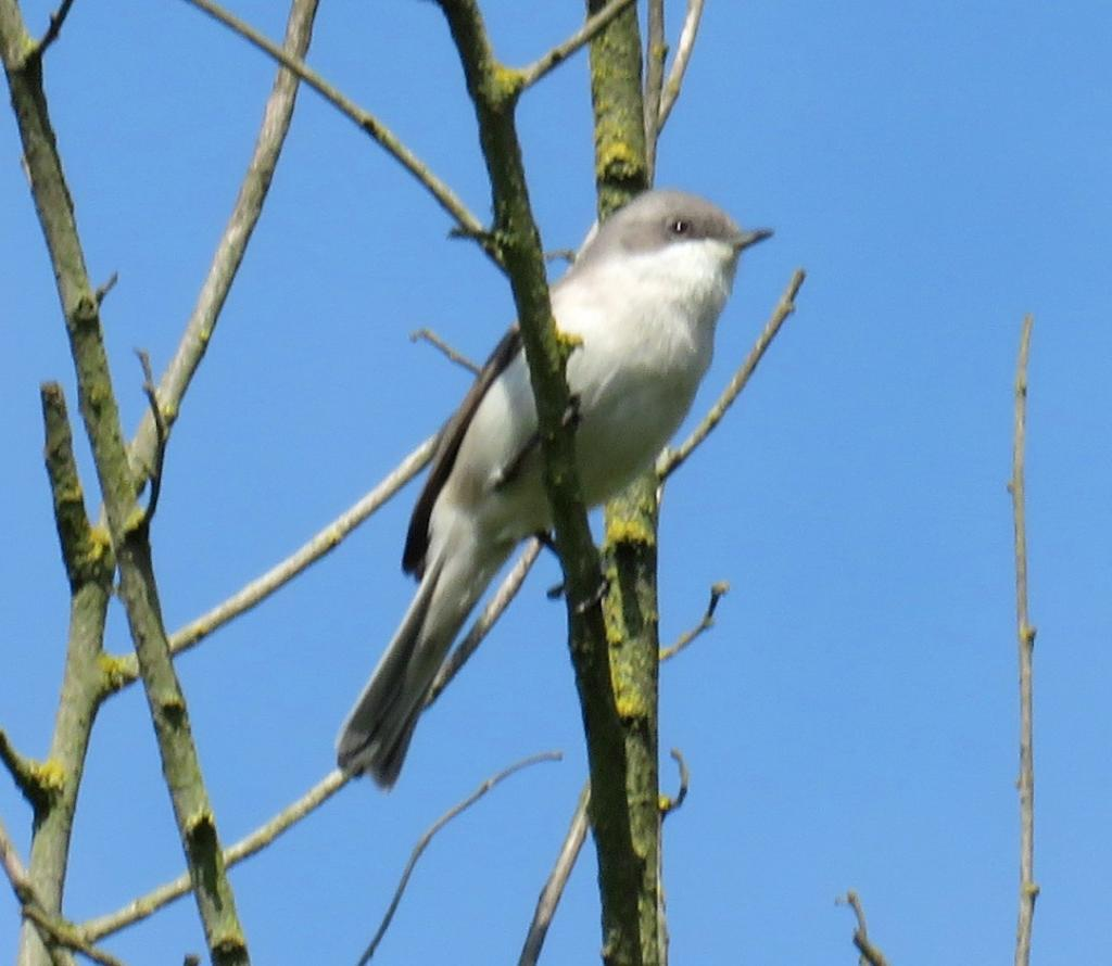 Lesser Whitethroat at Saffron Walden on 24 Apr 2020, (Stephen Dutton, Canon SX 60)
