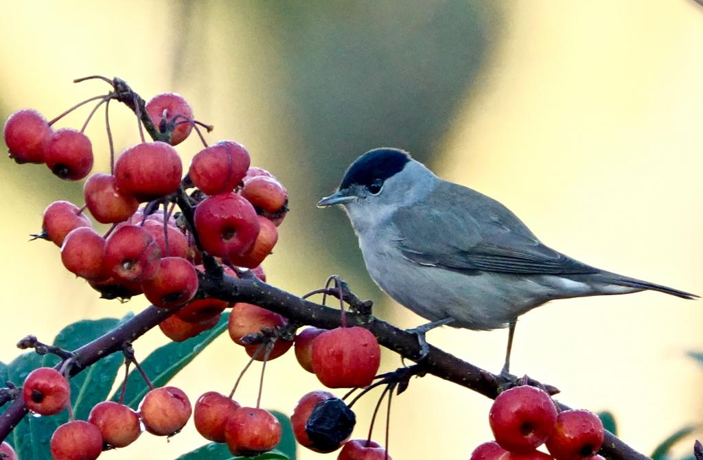 Blackcap at Broomfield, Chelmsford on 17 Dec 2018, (Peter Heath, SONY RX10 4)