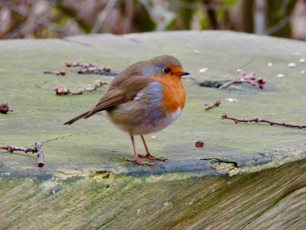 Robin at Hanningfield Reservoir on 14 Dec 2018, (David Hale, NIKON BRIDGE.)