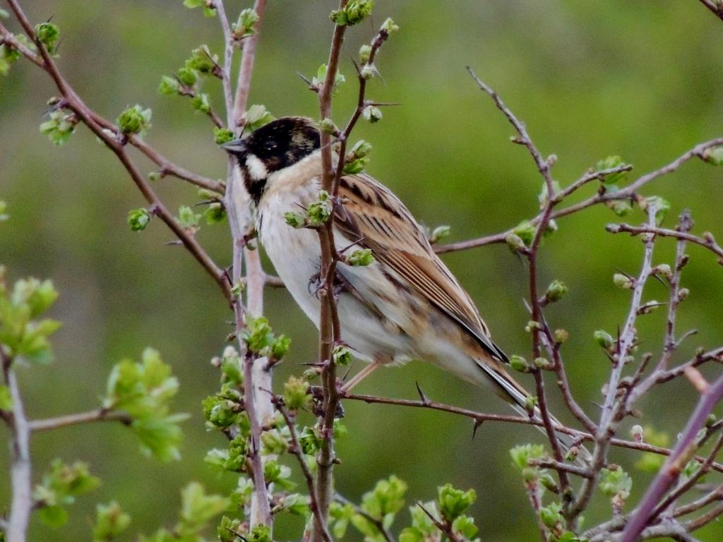 Reed Bunting at Abberton Reservoir on 18 Mar 2019, (David Hale, NIKON BRIDGE.)