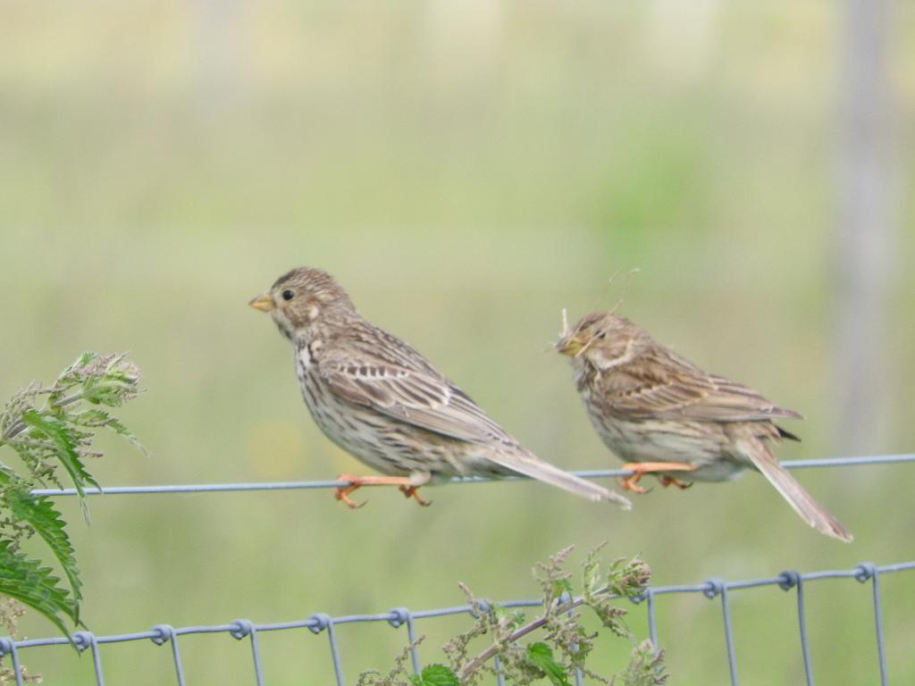 Corn Bunting at Great Holland on 03 Jun 2019, (Liz Huxley, )