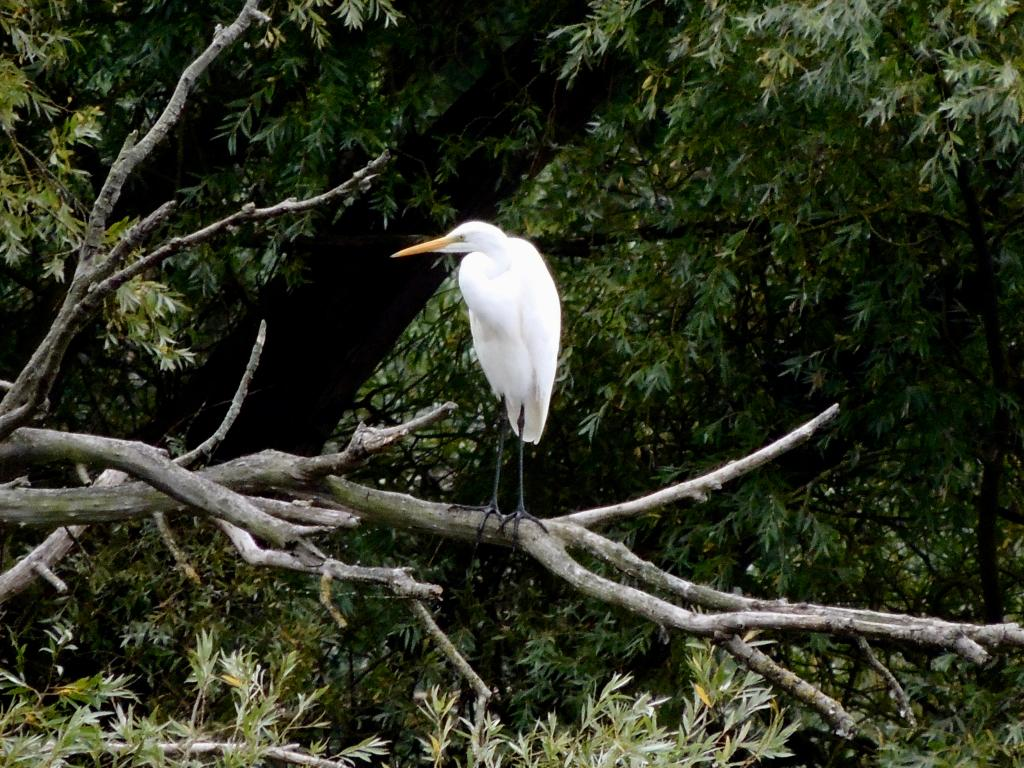 Great White Egret at Abberton Reservoir on 08 Sep 2020, (David Hale, NIKON BRIDGE.)