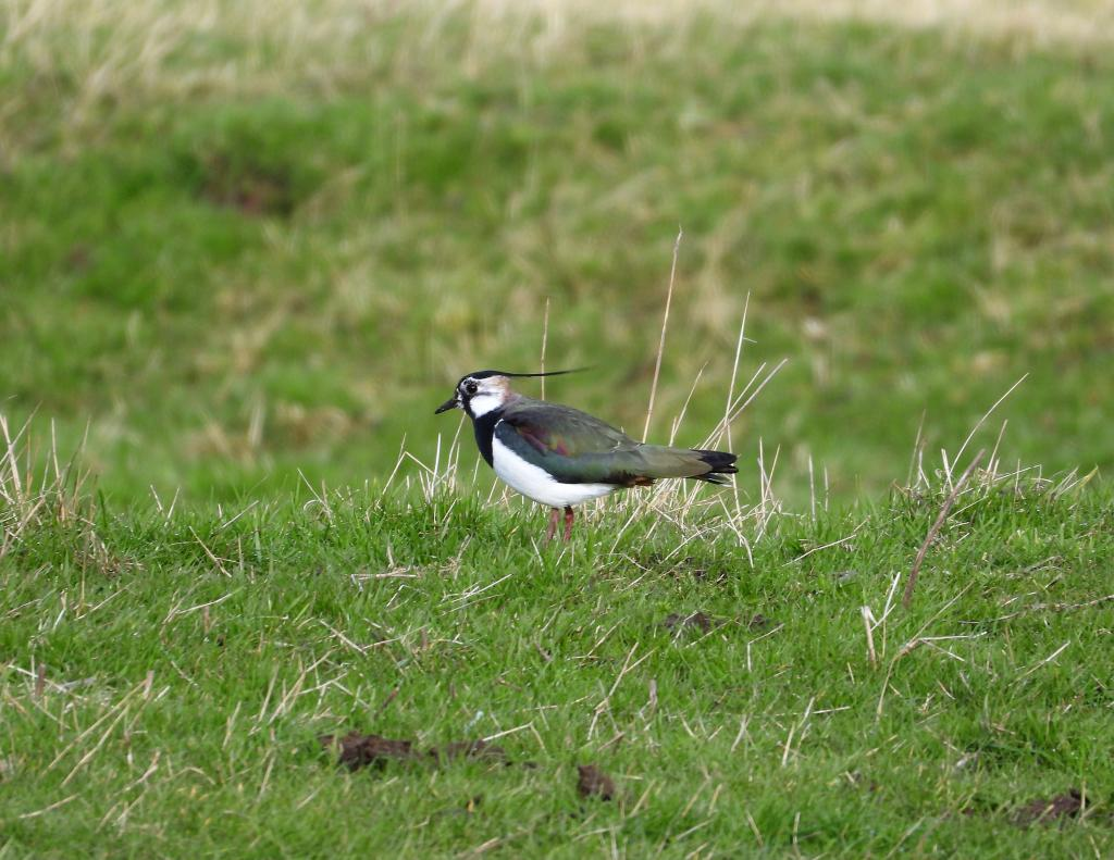 Lapwing at Cattawade Marsh/Splodge on 10 Mar 2020, (Matt Turner, Nikon P1000)