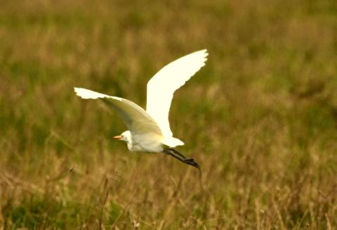 Cattle Egret at Abberton Reservoir on 11 Sep 2018, (Peter Triston, Nikon D7200 with Sigma 150-600 lens)