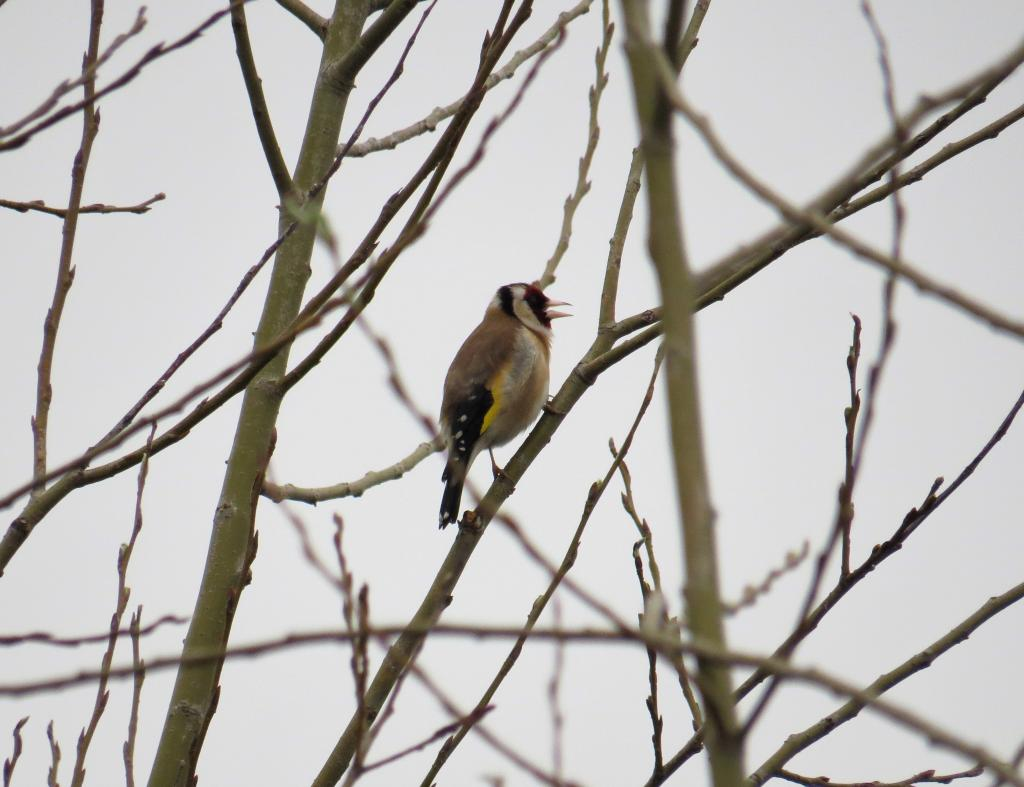 Goldfinch at Cattawade Marsh/Splodge on 21 Mar 2019, (Matt Turner, ATS80/S6 -Canon SX50HS)