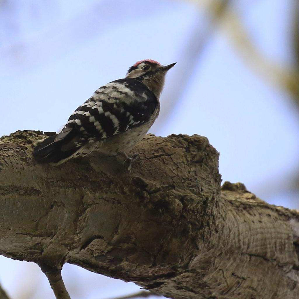 Lesser Spotted Woodpecker at Langdon Hills NR EWT on 24 Mar 2019, (Karl Price, )