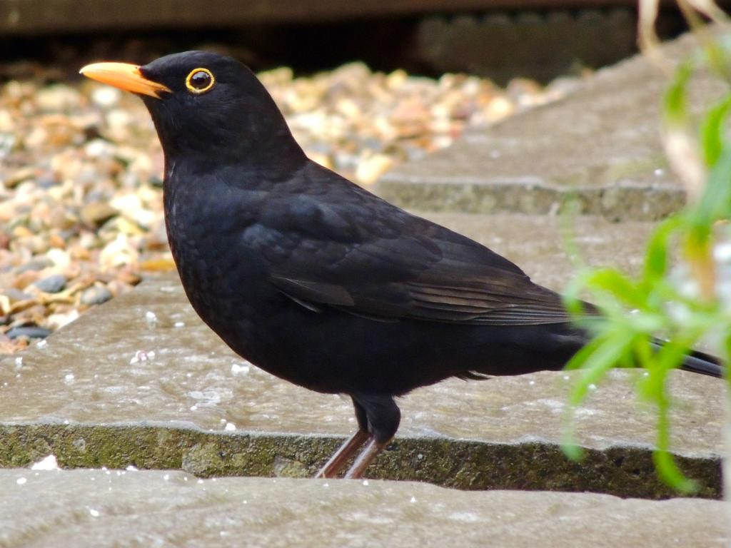 Blackbird at Wickford on 15 Mar 2020, (David Hale, NIKON BRIDGE.)