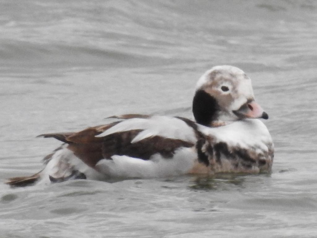 Long-tailed Duck at Abberton Reservoir on 15 Mar 2020, (David Curle, Nikon P900 Bridge Camera)