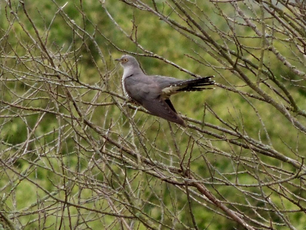 Cuckoo at Wat Tyler CP, Pitsea on 18 Jun 2019, (David Hale, NIKON BRIDGE.)
