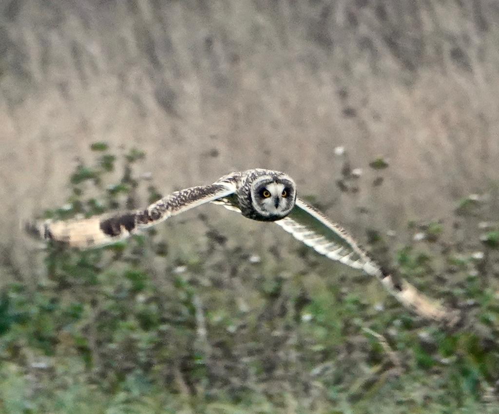 Short-eared Owl at Wallasea Island, Crouch/Roach Estuaries on 04 Dec 2018, (Peter Heath, SONY RX10 4)
