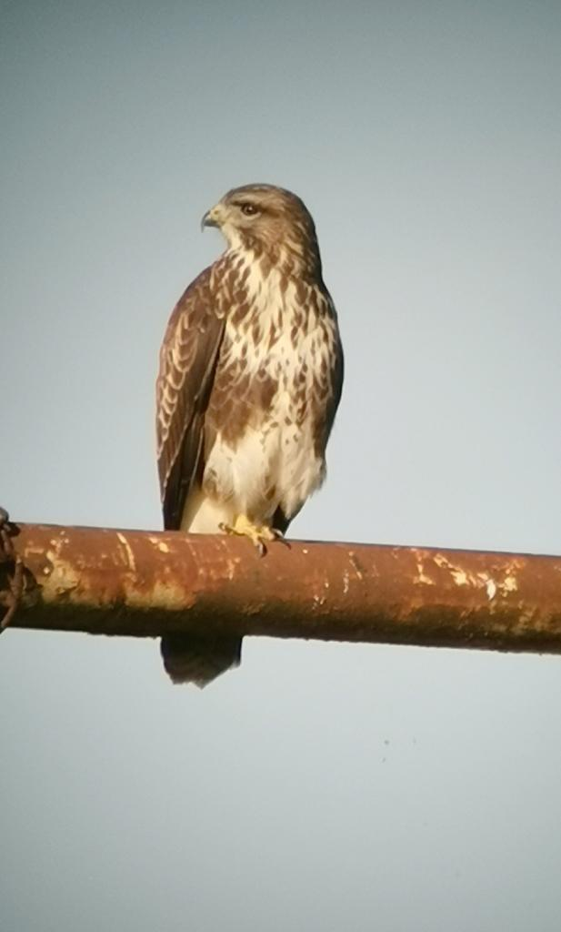 Buzzard at Russell Green GPs, near Chelmsford on 10 Sep 2020, (Brian Bolton, )