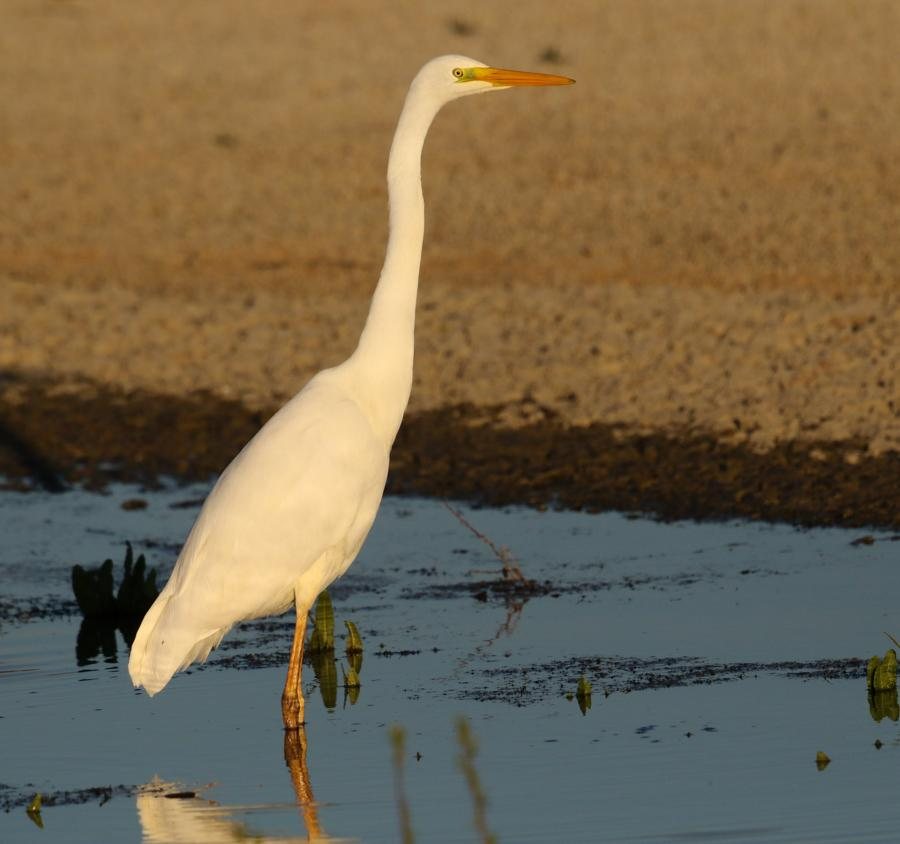 Great White Egret at Abberton Reservoir on 28 Mar 2019, (Sean Nixon, )