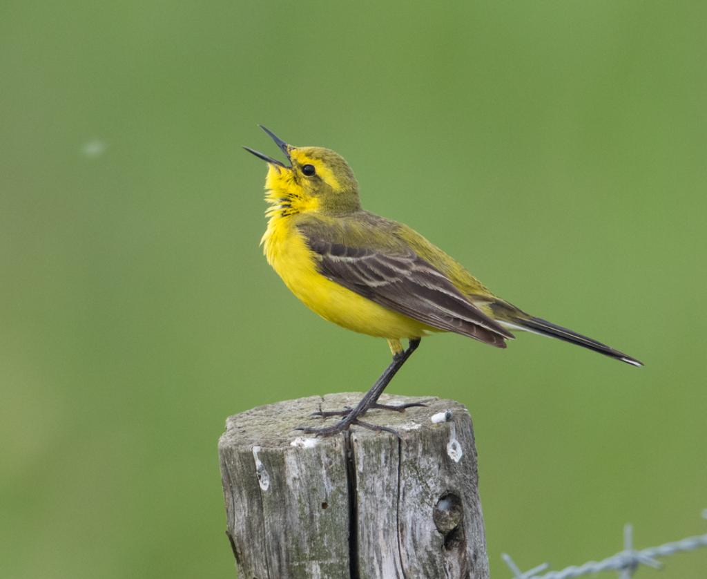 Yellow Wagtail at Abberton Reservoir on 30 May 2019, (Sean Nixon, )